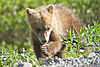 Bashful Springer Grizzly Cub (7956366358).jpg