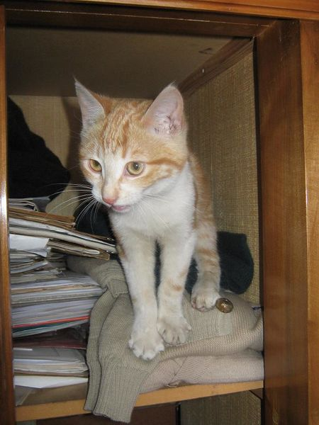 Archivo:Red tabby cat 010.jpg