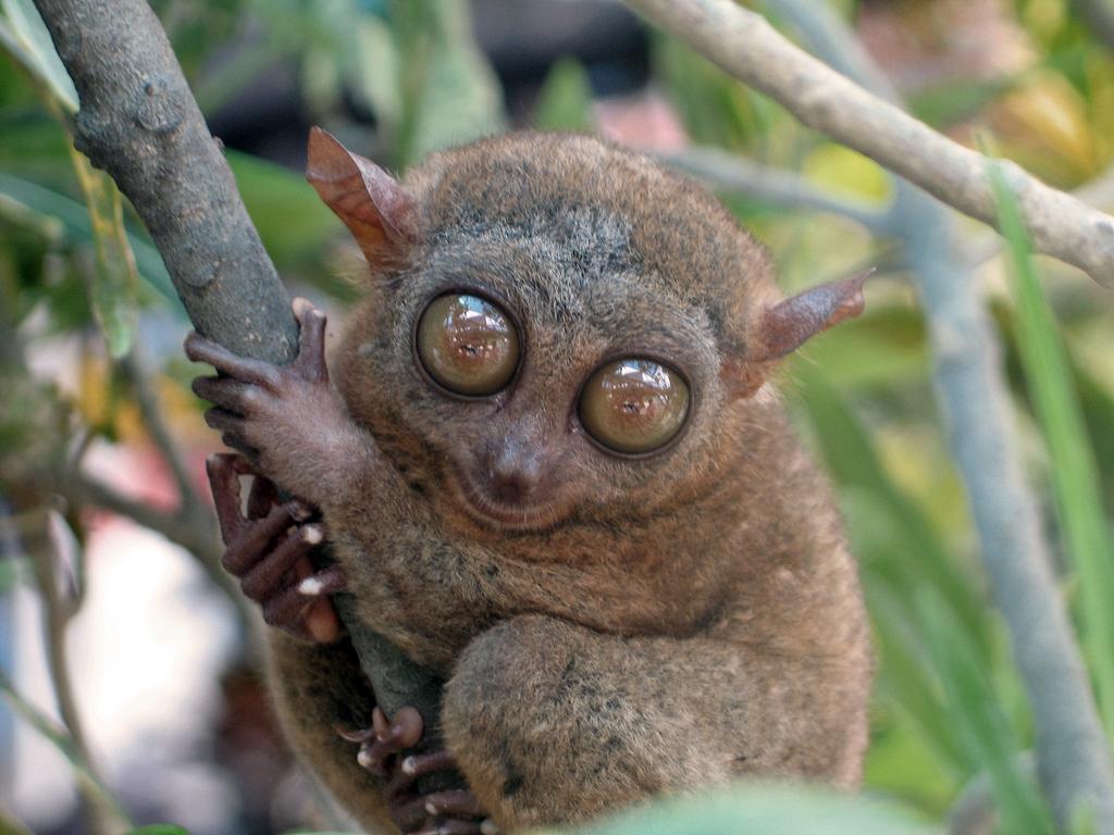 Tarsier vikidia l encyclop die des 8 13 ans - Animaux a gros yeux ...