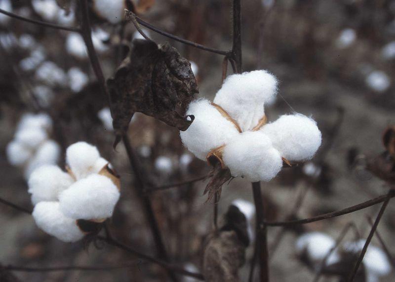 Fichier:CottonPlant.JPG