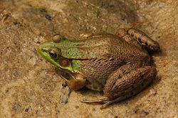 Lithobates clamitans.jpg
