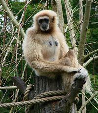 Une femelle gibbon