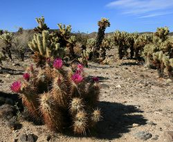 Echinocereus engelmannii and Cylindropuntia bigelovii at Joshua Tree NP.jpg