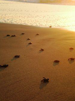 Bébés tortues rejoignant la mer au Mexique.JPG