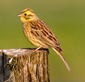 Yellowhammerzoom.png