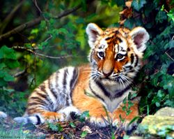 Bébé tigre.jpg