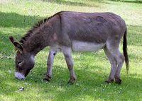 Un âne broutant de l'herbe