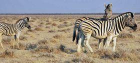 Des zèbres de Burchell en Namibie