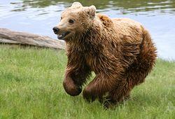 Image D Ours Brun ours brun - vikidia, l'encyclopédie des 8-13 ans