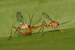 Ichneumonidae mating.jpg