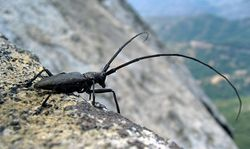 Longhorn Beetle Whitespotted Sawyer USA.jpg