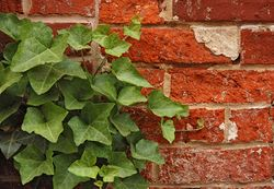 English Ivy Hedera helix Red Brick Wall 2892px.jpg