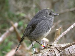NZ North Island Robin-2.jpg