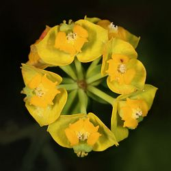 Euphorbia cyparissias quadrat.jpg