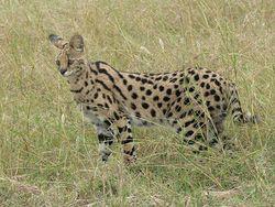 Serval en Tanzanie.jpg