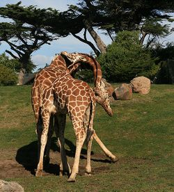 Two male Giraffe are necking in San Franzisco Zoo.jpg