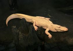 Albino Alligator 2008.jpg
