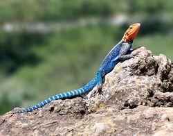 Red-headed Rock Agama.jpg