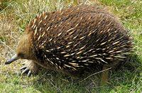 Échidné à bec court, en Tasmanie
