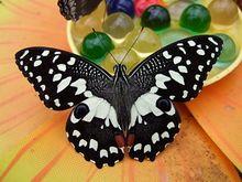 Papillon vikidia l encyclop die des 8 13 ans - Que mange les papillons de nuit ...