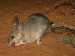 Un bilby en train de manger