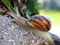 Escargot (Helix aspersa)