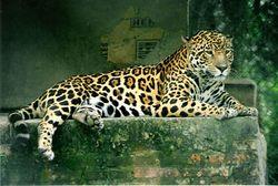 jaguar vikidia l encyclop die des 8 13 ans. Black Bedroom Furniture Sets. Home Design Ideas