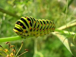 Papilio machaon caterpillar.jpg