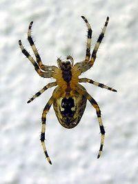 https://download.vikidia.org/vikidia/fr/images/thumb/7/78/AraNa_Spider.jpg/200px-AraNa_Spider.jpg