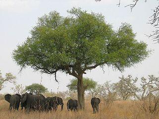 321px-%C3%89l%C3%A9phants_autour_d%27un_arbre_dans_le_parc_national_de_Waza_-_Cameroun