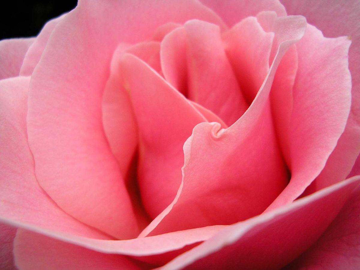 rose fleur vikidia l encyclop die des 8 13 ans. Black Bedroom Furniture Sets. Home Design Ideas