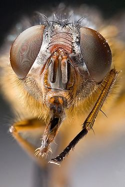 Calliphora sp Portrait.jpg