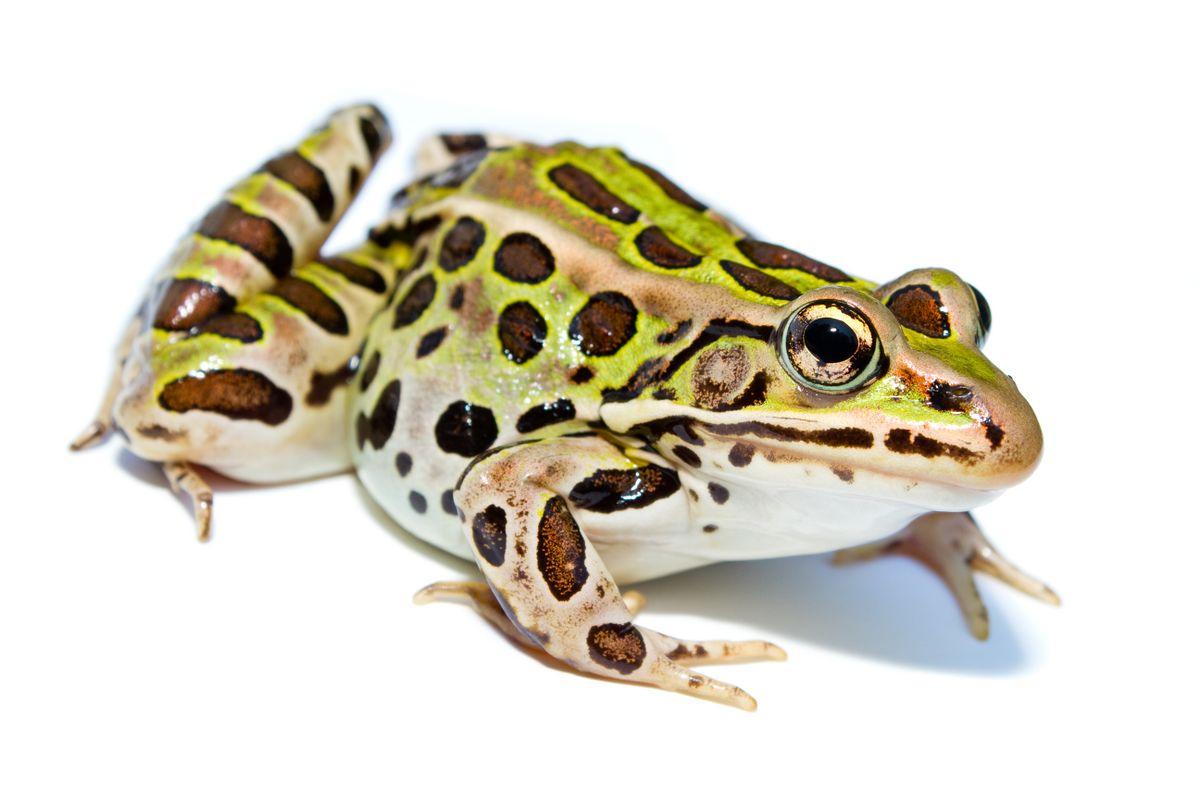 Grenouille vikidia l encyclop die des 8 13 ans - L eau du robinet c est pour les grenouilles ...