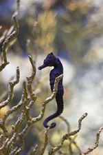 Un hippocampe commun