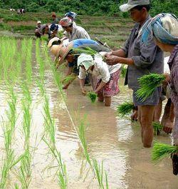 Repiquage du riz - Laos.jpg