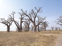 200px-Baobabs-_Saly_S%C3%A9n%C3%A9gal