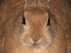 File-Domestic-rabbit-Leo-front-0a.jpg
