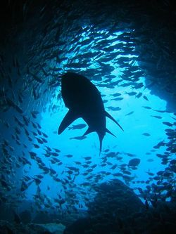Silhouette de requin-taureau.jpg