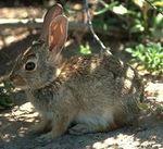 Lapin sauvage, appelé lapin de garenne