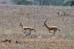 Gazella thomsonii Serengeti.jpg