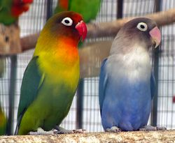 Agapornis genus -lovebirds in aviary-8.jpg
