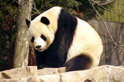 le panda géant du zoo de Washington, États-Unis