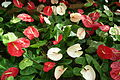 Anthurium at lalbagh flower show 7109.JPG
