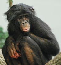 Bonobo, au zoo de Cincinati