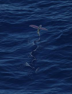 Pink-wing flying fish00.jpg