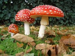 Amanita muscaria-amanite tue mouches.jpg