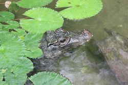 Crocodile nain portrait.jpg