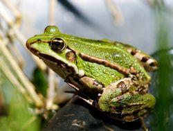 """Résultat de recherche d'images pour """"grenouille verte"""""""