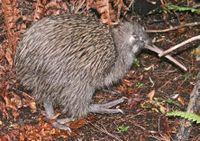 Kiwi austral (Apteryx australis)