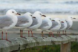 NeuseelandSeagulls.jpg
